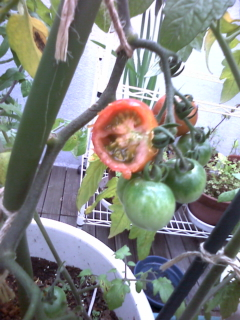 tomato_batu.jpg
