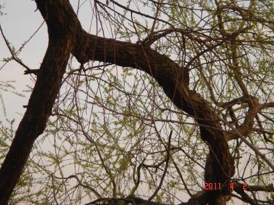 2011.4.2柳の木