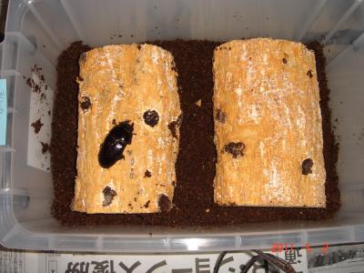2011.5.2香川産セッ開始