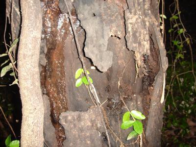 2011.6.4.初樹液採集