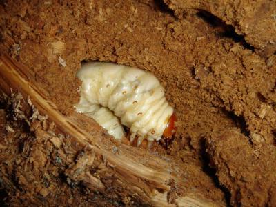 2011.9.23 OTOYO1117幼虫