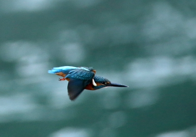 1031_6_600mmで撮ったカワセミの飛出し