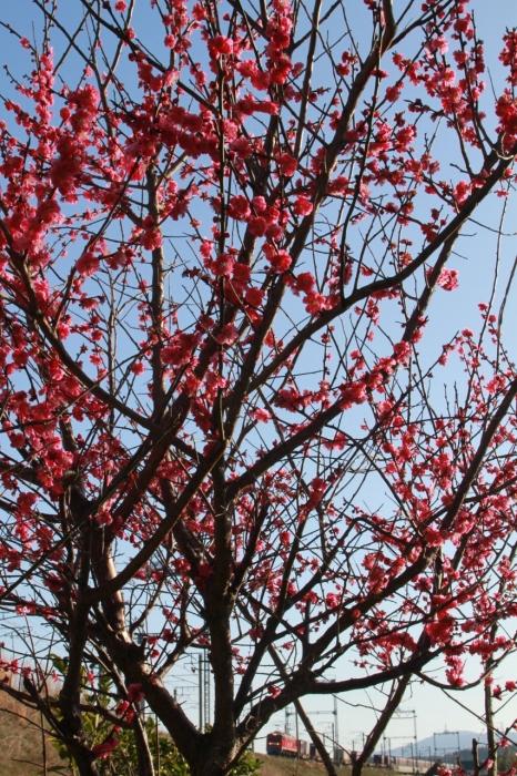 13.03.21 梅の木の下で EF510 蓬莱~志賀 17-35F2.8L