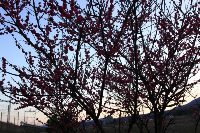 13.03.21 夕暮れ時の梅の木の下で 68- 17-35F2.8L