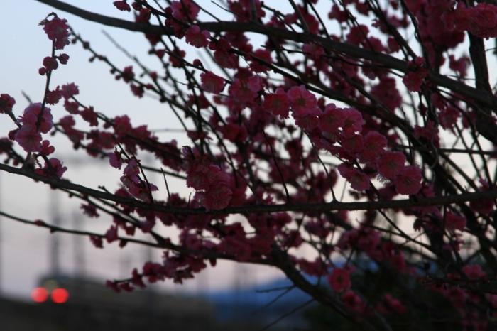 13.03.21 夕暮れ時の梅の木の下から 28-135F3.5-5.6