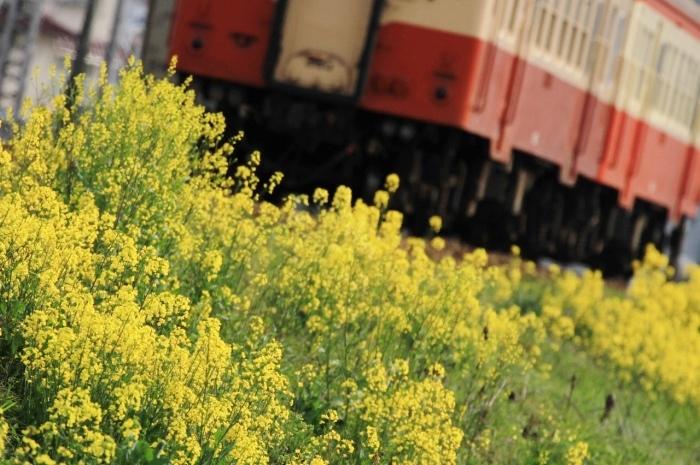 13.04.04 菜の花に包まれて キハ20系 tr 倉敷市~球場前 70-300F4-5.6L