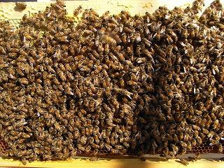 20130226-04frame_full_of_bees.jpg
