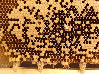 20130409queen_cells.jpg