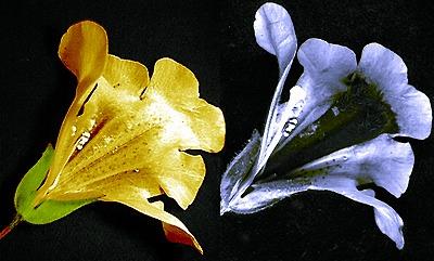 20130422-05Mimulus_nectar_guide_UV.jpg