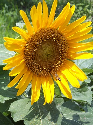 20130707-sunflower03.jpg