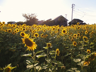 20130719sunflower01.jpg