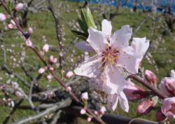 桃の開花(H22)_3