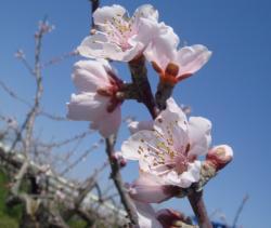 桃の開花(H22)_2