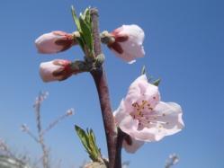 桃の開花(H22)_1