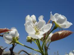 梨の開花(H22)_2