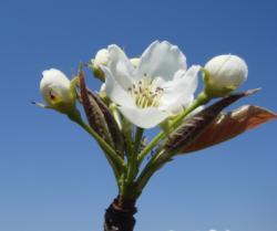 梨の開花(H22)_1