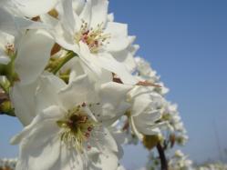 幸水梨の花_1