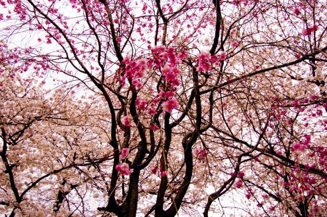 桜20102