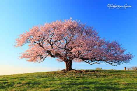 岩手 一本桜