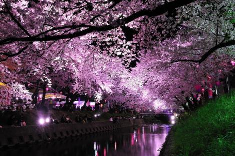 五条川 夜桜