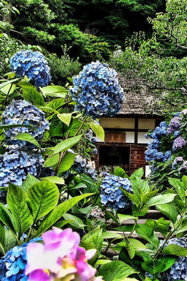 紫陽花の明月院