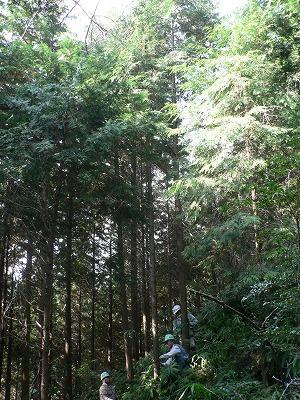 細い日の当らない木などを間伐します