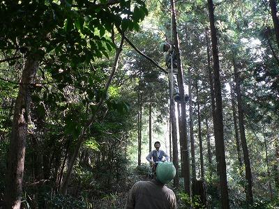 枝打ちは梯子と高枝バサミを使います