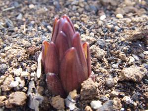 超特大 カサブランカの芽