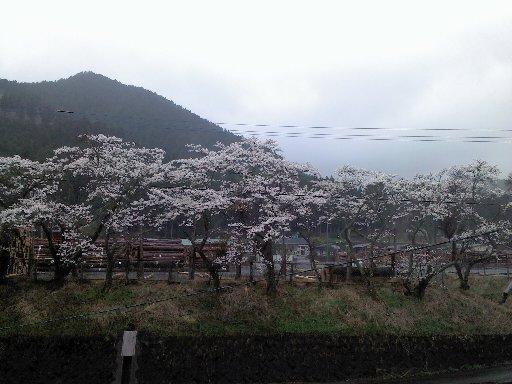 250402sakura.jpg