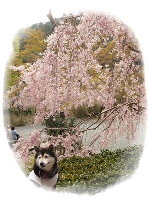 しだれ桜047