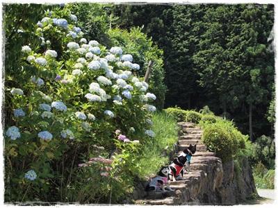 滝谷菖蒲園100