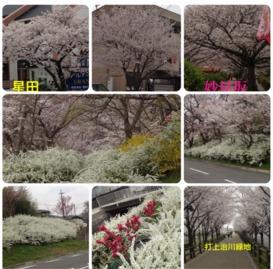 今年の桜chan1