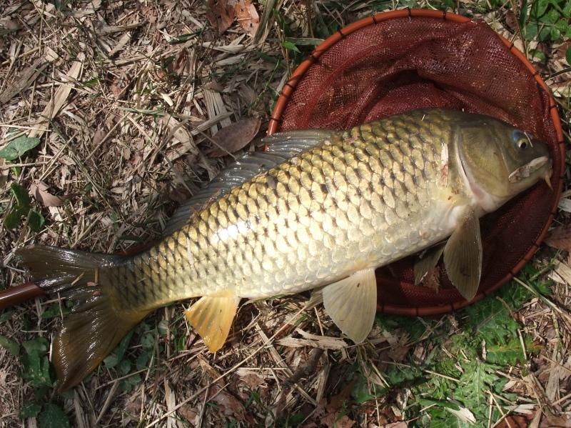 25 inch carp