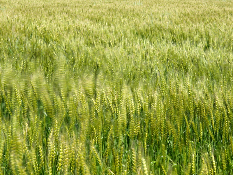 麦畑 002