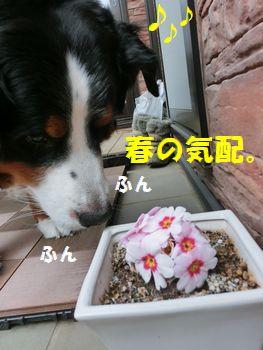 春のかほり~!