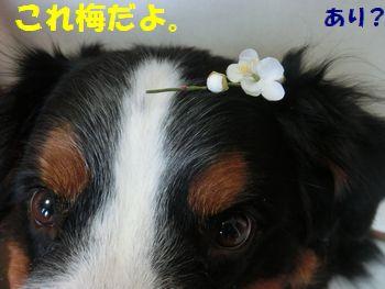 梅じゃダメなの桃なの~!