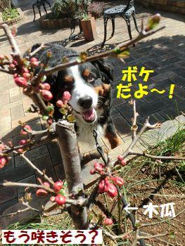 ボケのお花なの~!