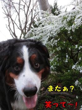 また~!雪柳と??