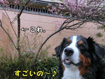 桜すっご~いの!