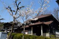 ハイカラ衣装館前の桜
