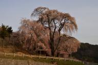 早朝の勝間薬師堂の枝垂桜