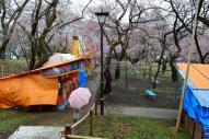 雨降りの観桜