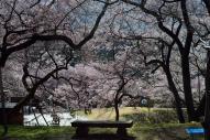 高遠美術館方向の桜