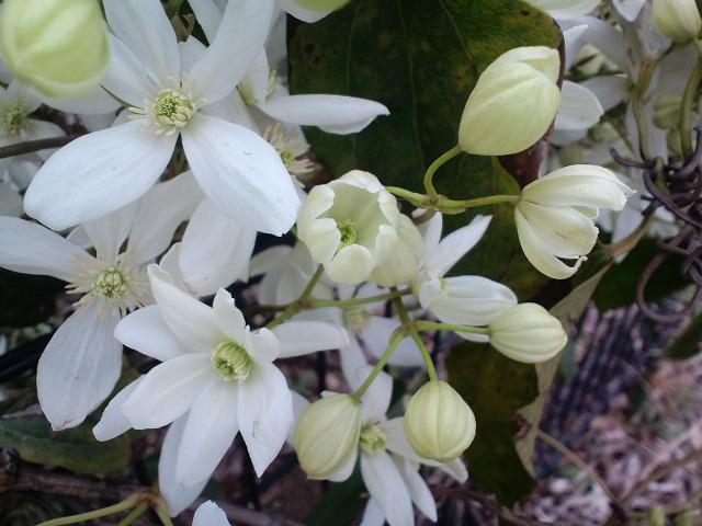 クレマチス冬咲きs