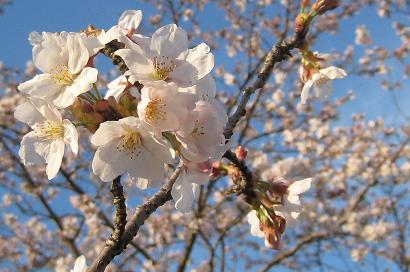 4/2 桜