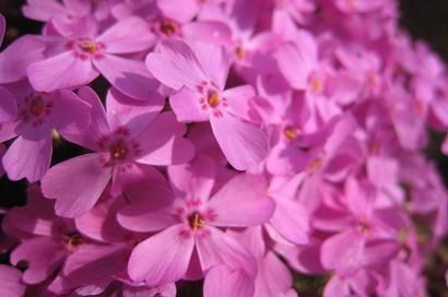 4/18 芝桜・ピンク