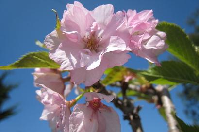 4/25 旭山桜