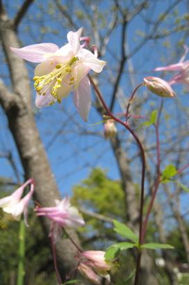 5/4 カナデンシス・ピンクランタンズ
