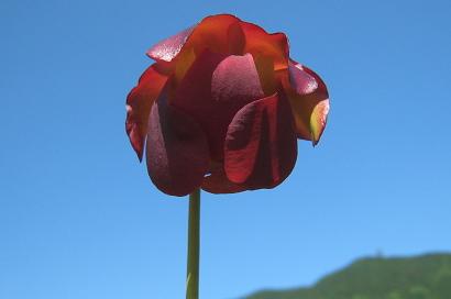 5/30 サラセニアの花
