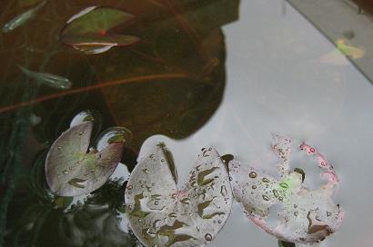 6/27 姫睡蓮・スノープリンセス